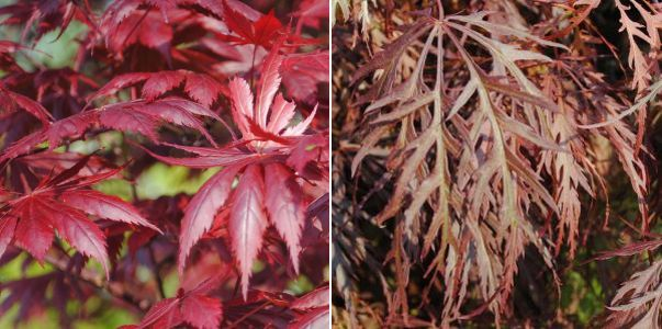 Acer palmatum Trompenbur, Acer palmatum Garnet