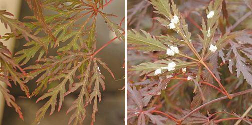 wollige dopluis op Acer palmatum