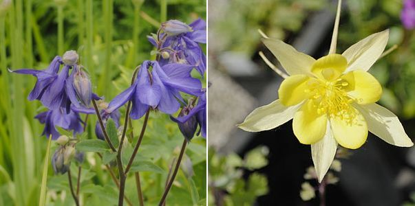 Aquilegia vulgaris, Aquilegia chrysantha Yellow Queen