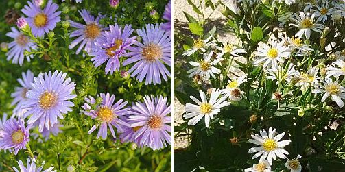Aster ageratoides 'Asran', Aster ageratoides 'Star Shine'