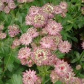 Astrantia major ''Star of Beauty'