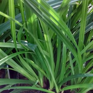 Carex morrowii 'Irish Green''