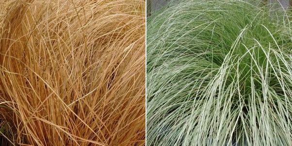 Carex comans Bronze Form, Carex comens Forsted Curls