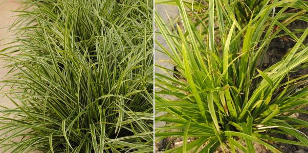 Carex morrowii Ice Dance Carex morrowii