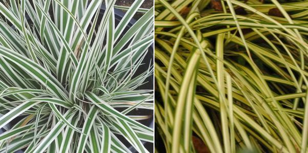 Carex oshimensis Everest, Carex oshimensis Evergold