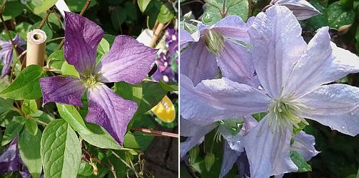 Clematis viticella, Clematis 'Prince Charles'