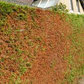 Coniferenhaag heeft bruine vlekken