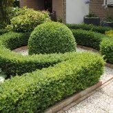 Buxus sempervirenes