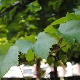 Druivenblad