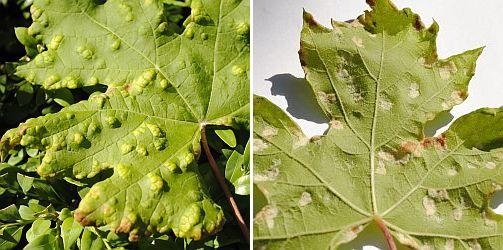 Galmijt op druivenblad