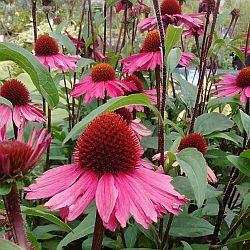 Echinacea 'Sunseekers'