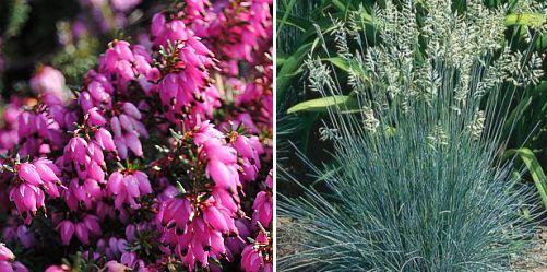 Erica x darleyensis Festuca glauca