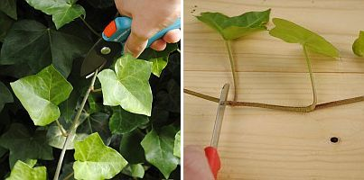 hedera stekken/ propagating English ivy