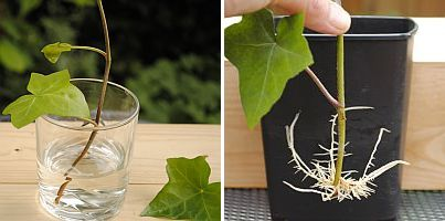 hedera stekken /propagating English ivy