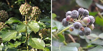 hedera in bloei