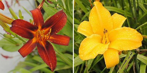 Hemerocallis 'Ruby Spider' Hemerocallis 'Chicago Sunrise'