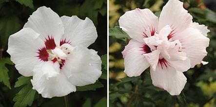 Hibiscus s. 'Leopoldii', Hibiscus s. ''Red Heart'
