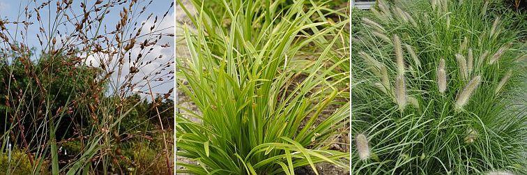 Panicum virgatum, Carex morrowii, Pennisetum Hameln