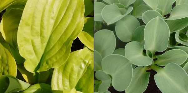 Hosta Sum and Sustance, Hosta Blue Mouse Ears