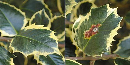Hulstblad vertoont bruine vlekken