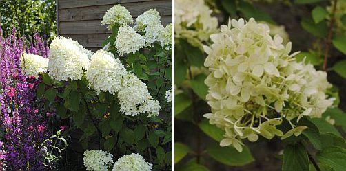 Hydrangea paniculata in de zomer / Hydrangea paniculata eind aug / pluimhortensia