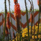 kniphofia oranje