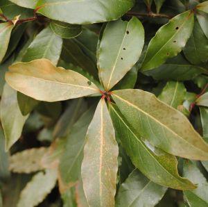 Laurus noblis vorstschade blad