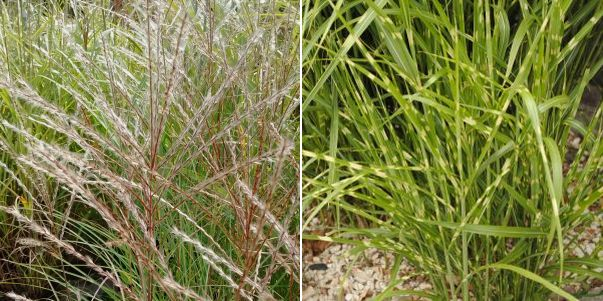 Miscanthus sinensis Zebrinus