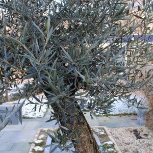 olijfboom in winter