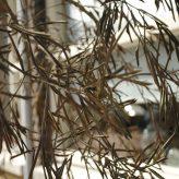 Verdord blad olijfboom