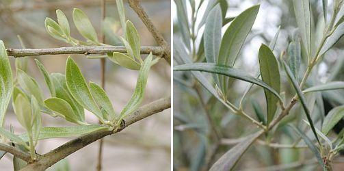 blad olijfboom