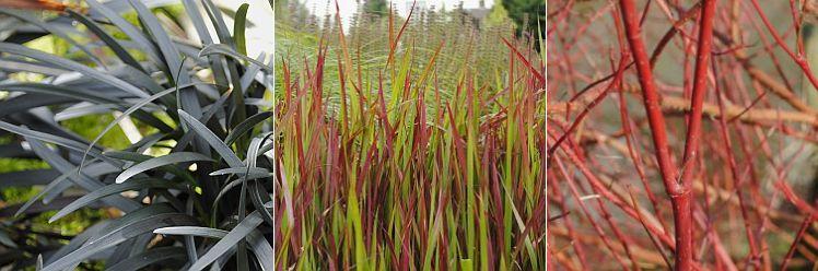 ophiopogon p.'Niger' planten combineren