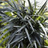 Plant combination for Black Mondo Grass