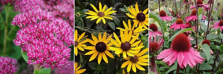 Sedum, Rudbeckia f. Little goldstar, Echinacea Sunseekers