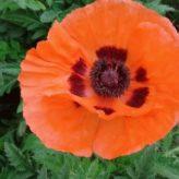 Papaver orientale (kleur oranje)