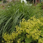 pennisetum combineren