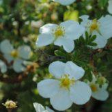 Potenilla fruticosa 'Abbotswood'