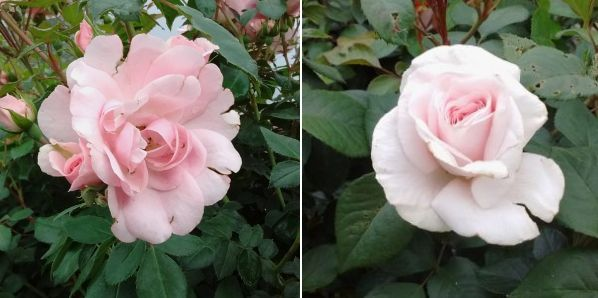 Rosa Bonica, Rosa Awhither Shade of Pale