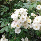 Rosa guirlande d'Amour