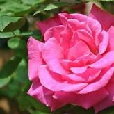 Rosa Zephirine