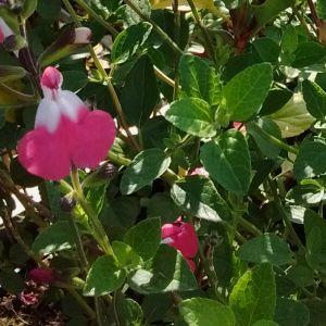 Salvia microphylla Pink Lips