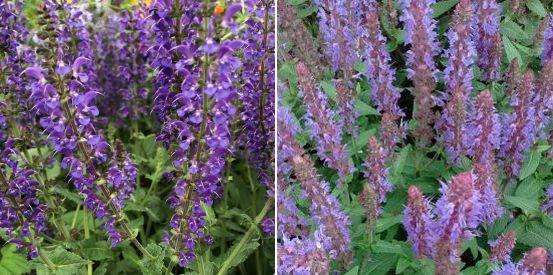 Salvia nemorosa 'Mainacht', Salvia nemorosa 'Sensation Deep Blue'