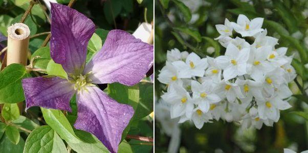 Solanum jasminoides 'Album, Clematis viticella