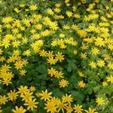 Speenkruid in bloei