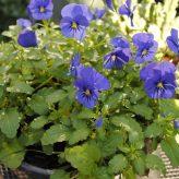 Winterviool blauw