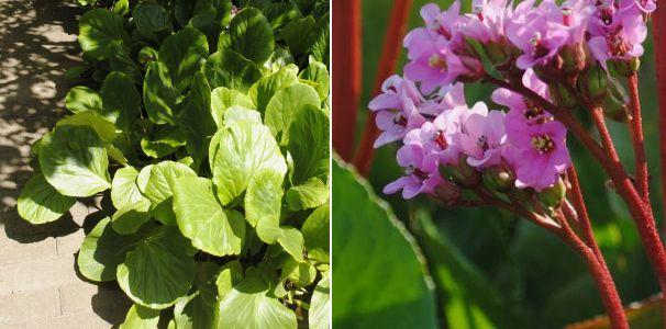 Bergnia cordifolia 'Purpurea''