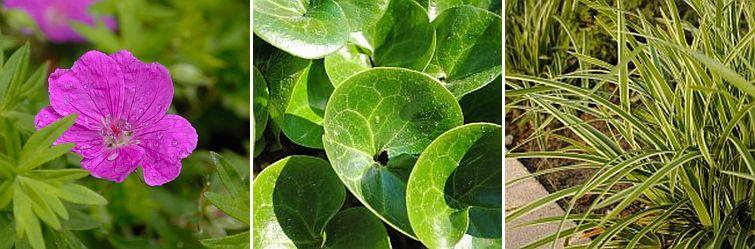 geranium max frei