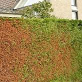 bruine vlekken op coniferenhaag