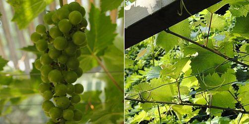 Druif, Vitis vinifera