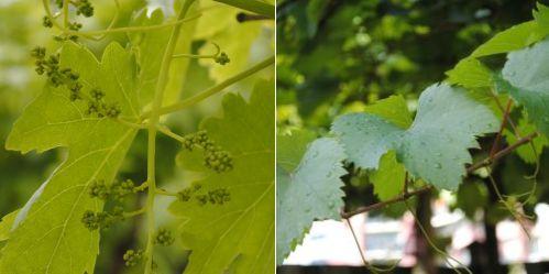 uitdunnen druiventrosjes